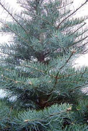Пихта одноцветная (Abies concolor)